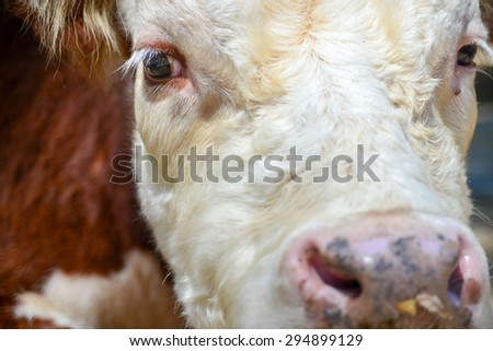 Close up view of a cow's head including eyes.