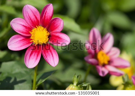 Close-up View of a Dahlia Flower in the garden - stock photo