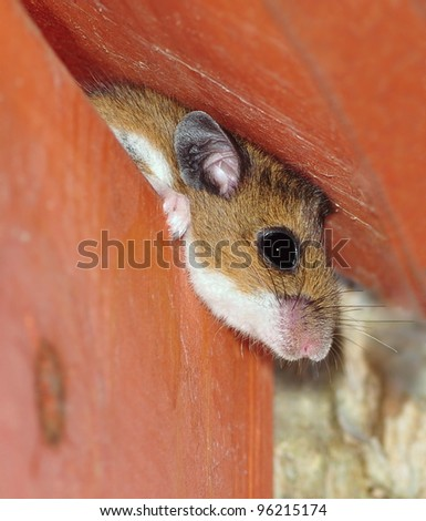 Close- up view of a Deer Mouse (Peromyscus maniculatus) peering out from inside a bird house. - stock photo