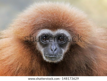 Close-up view of a female lar gibbon (Hylobates lar) - stock photo