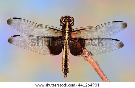 Close- up view of a female Widow Skimmer dragonfly (Libellula luctuosa). - stock photo