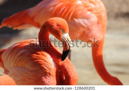close up view of a flamingo with its neck resting on its body - stock photo