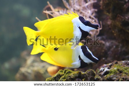 Close-up view of a Foxface rabbitfish (Siganus vulpinus)  - stock photo