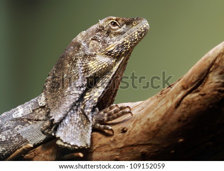 Close-up view of a Frill-necked lizard (Chlamydosaurus kingii) - stock photo