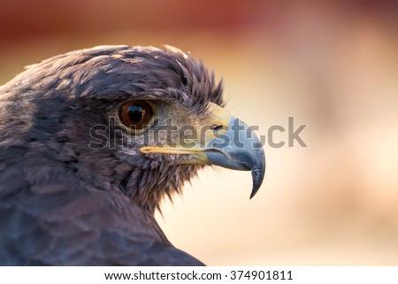 Close up view of a golden eagle (Aquila chrysaetos) head. - stock photo