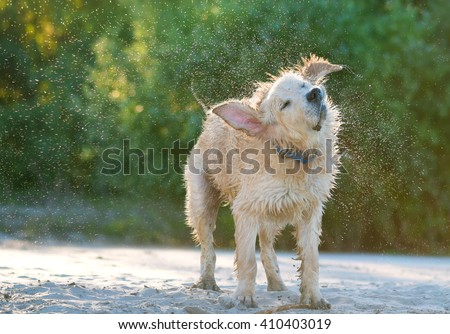 Close up view of a golden labrador shaking sea water off his body on the beach shore. - stock photo