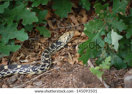 Close Up View of a Gopher Snake (Pituophis Catenifer)