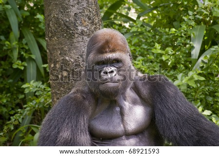 Close up view of a gorilla in the wild. - stock photo