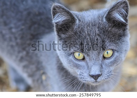 Close-up view of a gray farm cat (Shallow DOF) - stock photo