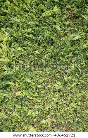 Close up view of a green hedge - stock photo