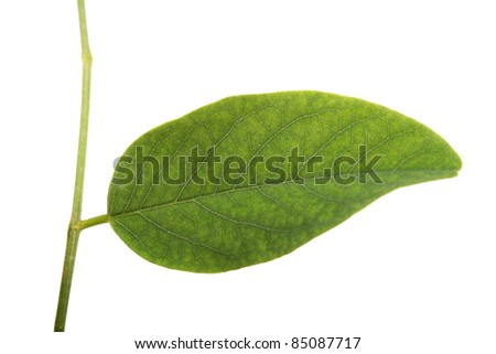 Close up view of a green leaf from a tree isolated on a white background.