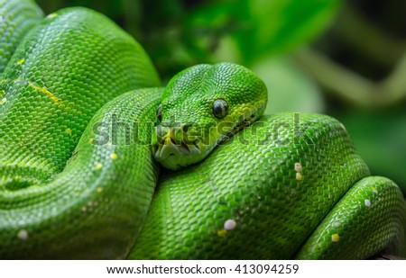 Close-up view of a green tree python (Morelia viridis) - stock photo