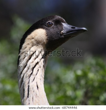 Close-up view of a Hawaiian Goose 01