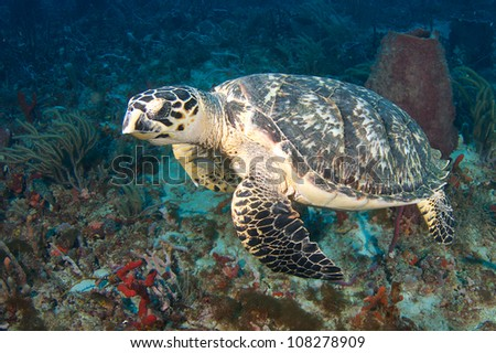 Close up view of a Hawksbill Turtle with a Bar Jack under its chin.