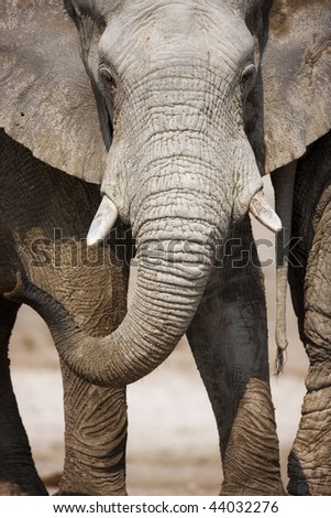 Close-up view of a huge dirty elephant in Etosha - stock photo