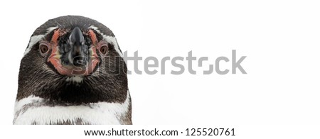 Close-up view of a Humboldt Penguin, isolated on white background - stock photo
