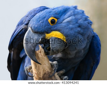 Close-up view of a Hyacinth macaw (Anodorhynchus hyacinthinus) - stock photo