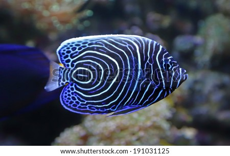 Close-up view of a Juvenile Emperor angelfish (Pomacanthus imperator) - stock photo