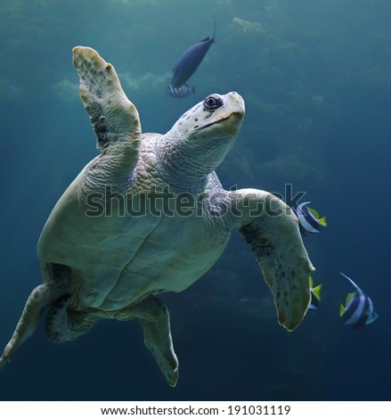 Close-up view of a Loggerhead sea turtle (Caretta caretta)  - stock photo