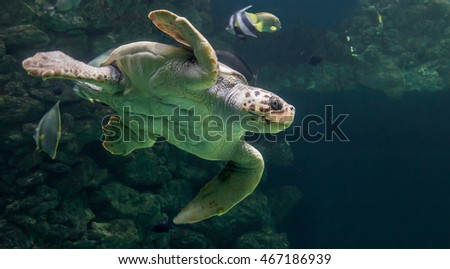 Close-up view of a Loggerhead sea turtle (Caretta caretta)