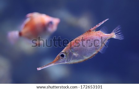 Close-up view of a Longspine snipefish  (Macroramphosus scolopax)  - stock photo