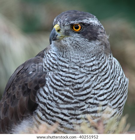 Close-up view of a majestic hawk