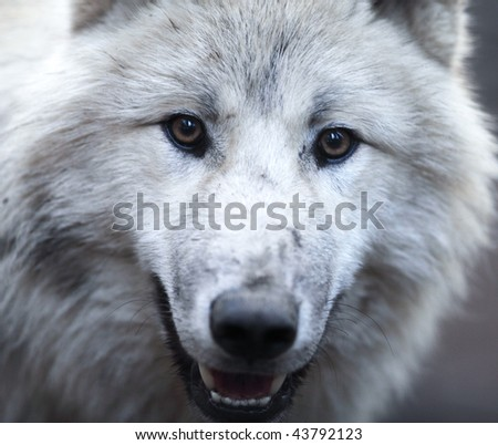 Close up view of a male wolf (Canis lupus) - stock photo
