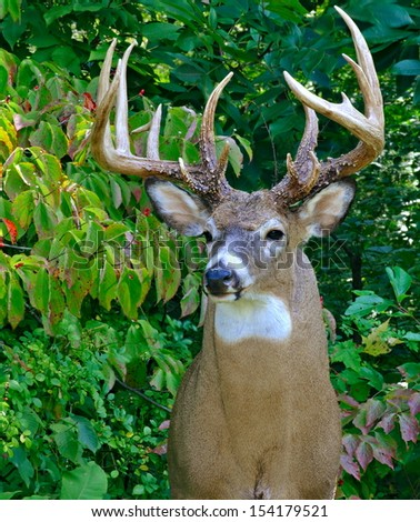Close- up view of a massive sixteen point White- tailed buck (Odocoileus virginianus) along a woodland edge. - stock photo