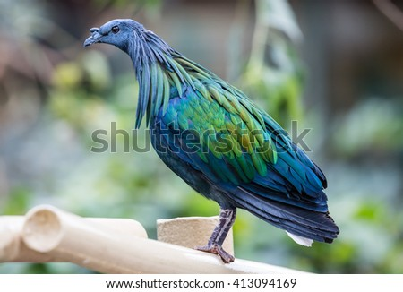 Close-up view of a Nicobar pigeon (Caloenas nicobarica) - stock photo