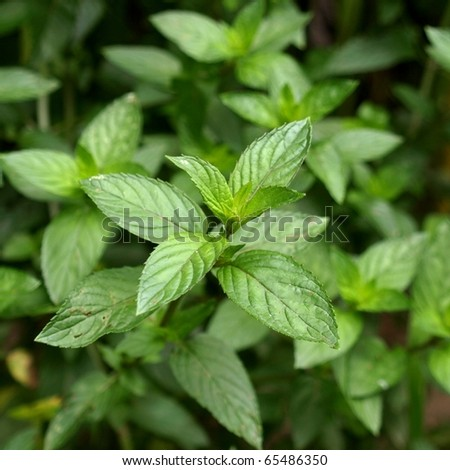 Close up view of a peppermint plant - stock photo