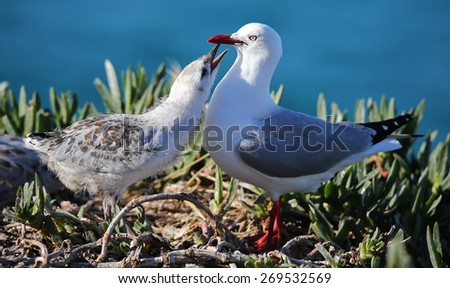 Close-up view of a Red-billed gull (Chroicocephalus scopulinus) feeding chick - stock photo