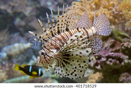 Close-up view of a Red Lionfish (Pterois volitans) - stock photo