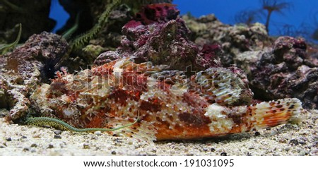Close-up view of a Red Scorpionfish (Scorpaena scrofa) - stock photo