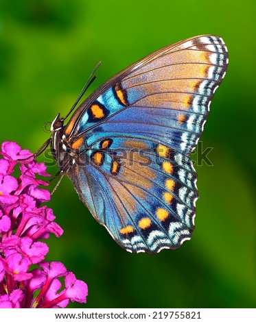 Close- up view of a Red- spotted Purple butterfly (Limenitis arthemis) at a pink butterfly bush flower. - stock photo