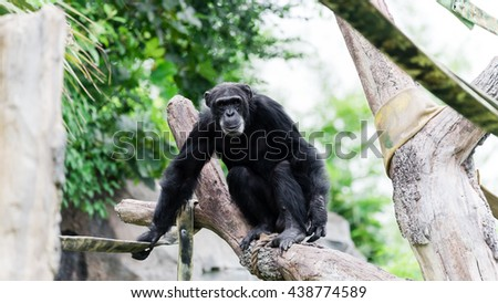 Close-up view of a single adult chimpanzee (Pan troglodytes) in the zoo with green natural background. It is from Western & Central Africa range. Panorama style. - stock photo