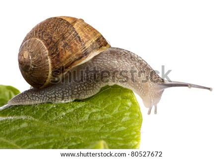 Close up view of a snail walking around on a white background. - stock photo