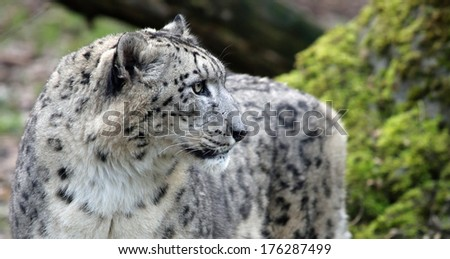 Close-up view of a Snow leopard - Unica unica - stock photo