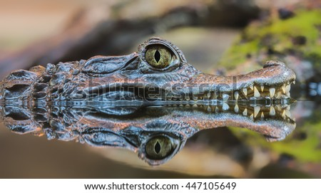 Close-up view of a Spectacled Caiman (Caiman crocodilus) - stock photo