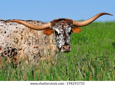Close-up view of a Texas Longhorn cow with an exceptionally pretty face. - stock photo