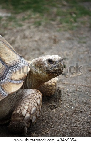 Close up view of a tortoise turtle walking on the ground.