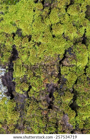 Close up view of a tree bark texture with green moss. - stock photo