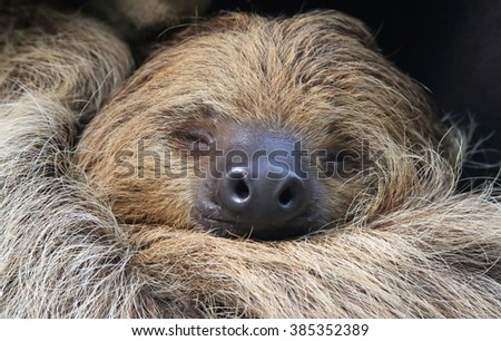 Close-up view of a Two-toed sloth (Choloepus didactylus) - stock photo