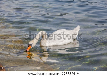 Close up view of a white swan drinking water in a lake. - stock photo