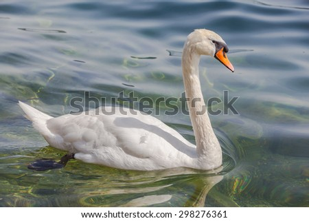 Close up view of a white swan floating on green water in a lake. - stock photo
