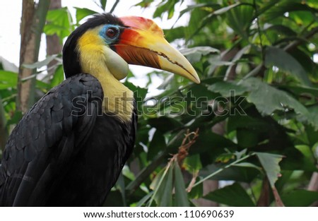 Close-up view of a Wrinkled Hornbill (Aceros corrugatus) - stock photo