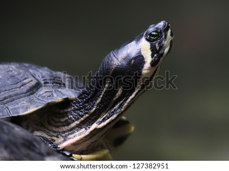 Close-up view of a Yellow-bellied slider (Trachemys scripta) - stock photo