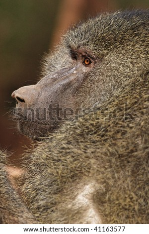 Close up view of adult baboon. - stock photo