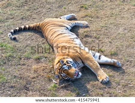 close up view of amur tiger - stock photo