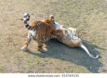 close up view of amur tigers - stock photo