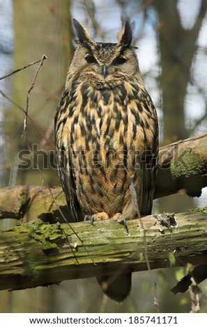 Close-up view of an Eagle-Owl (Bubo bubo) - stock photo
